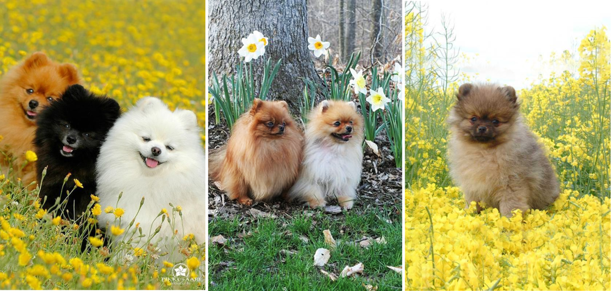 Here are a few examples of the coat patterns and colors for Poms.
