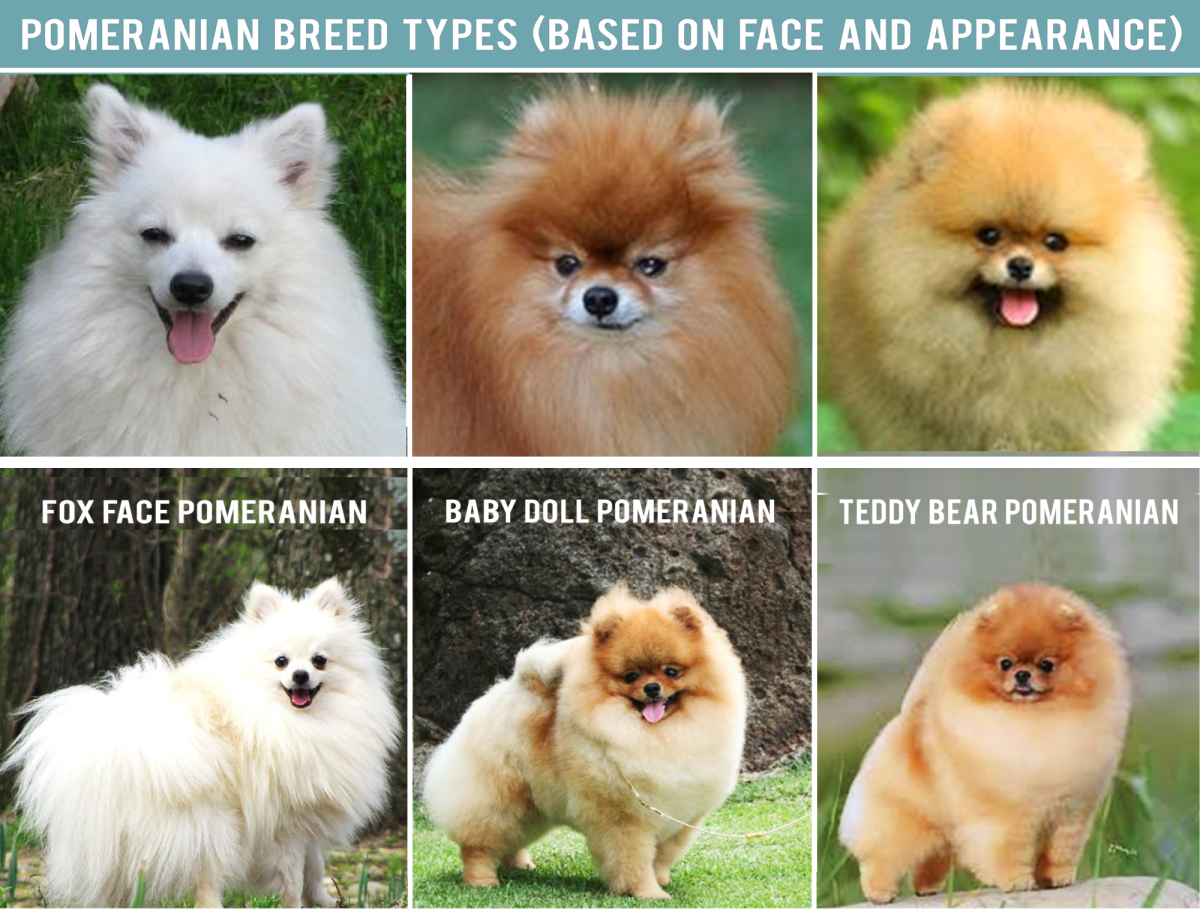 Pomeranian Breed Types (Based on Face and Appearance)