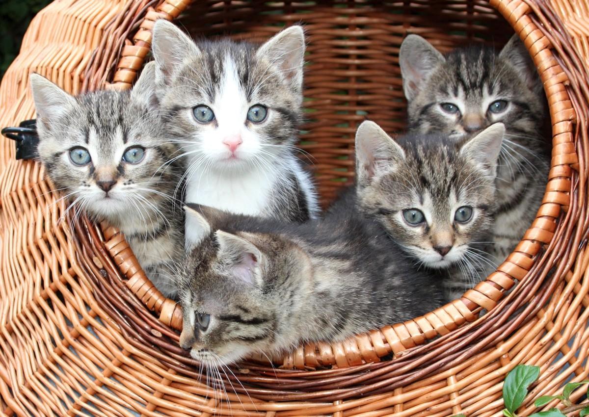 Cat kittens in a basket
