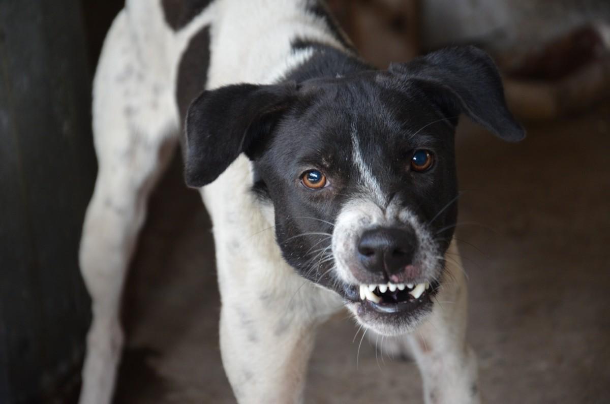 An aggressive dog