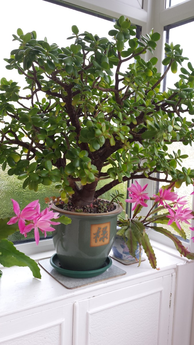 How To Grow And Look After A Money Tree Plant With Flowers