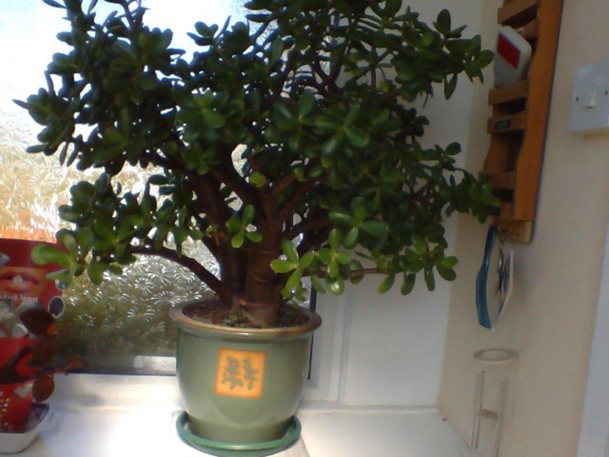 Newest photo of my Money Tree