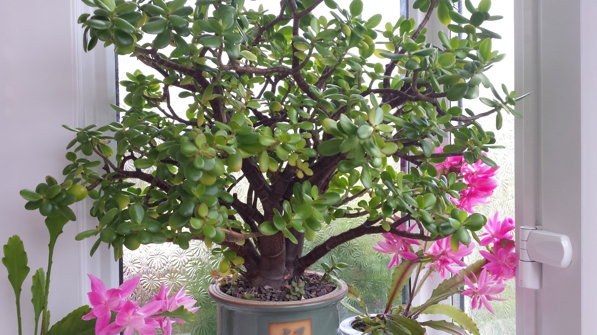Mother Jade with Orchid cactus