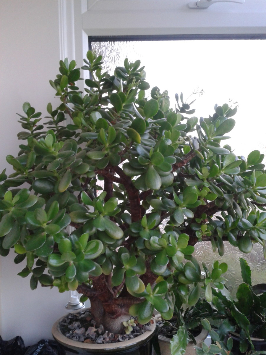 Money Tree with flowers (Jade)