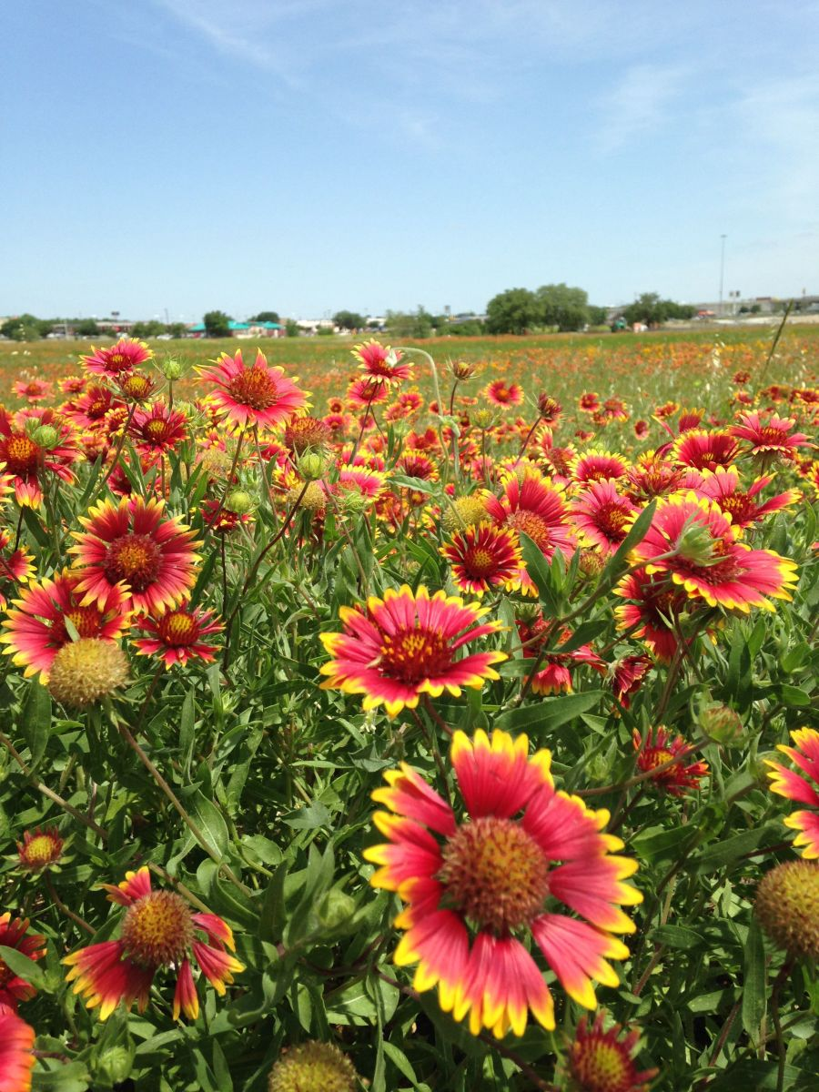 These are Indian Blankets in a field in a suburban area - stunning!