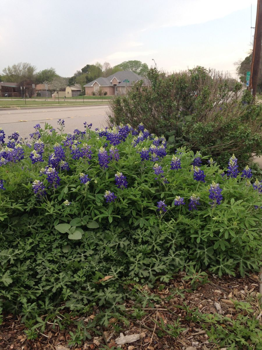 Some folks incorporate bluebonnets into their landscaping