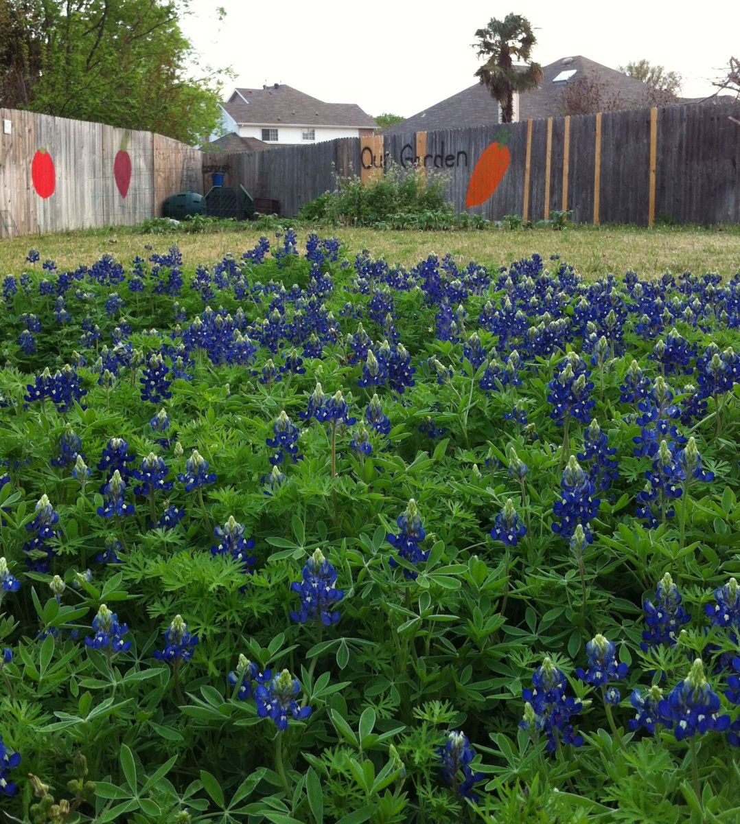 bluebonnets-the-state-flower-of-texas