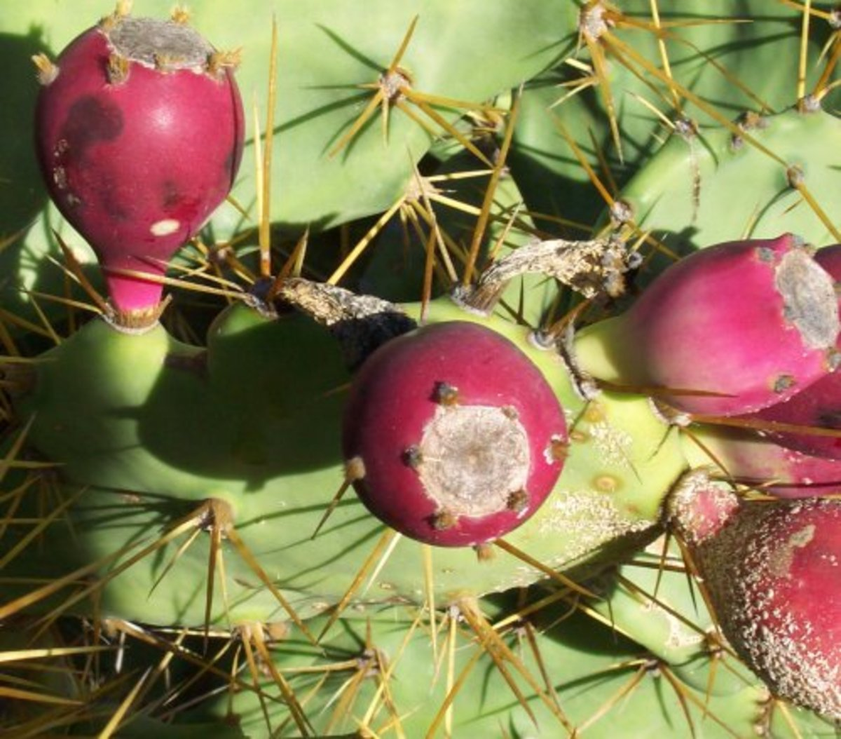 Prickly Pears Photo by Steve Andrews