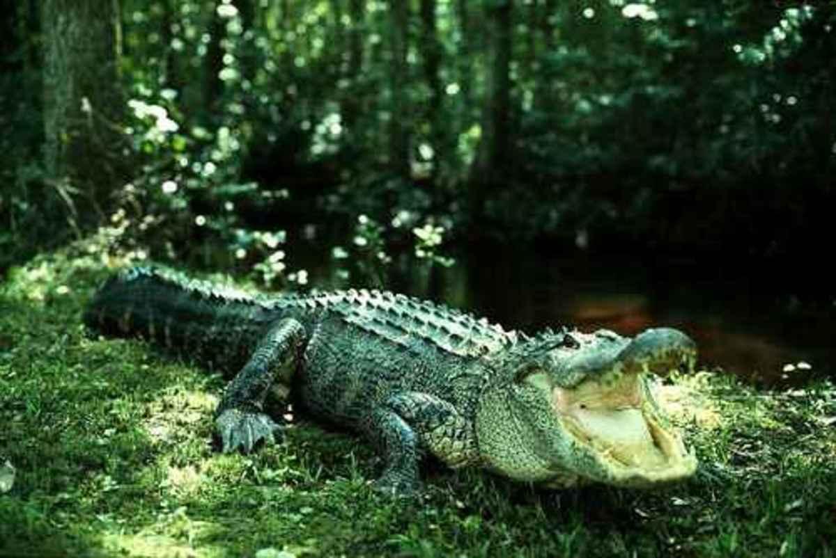 The Pointlessness of Alligator Wrestling