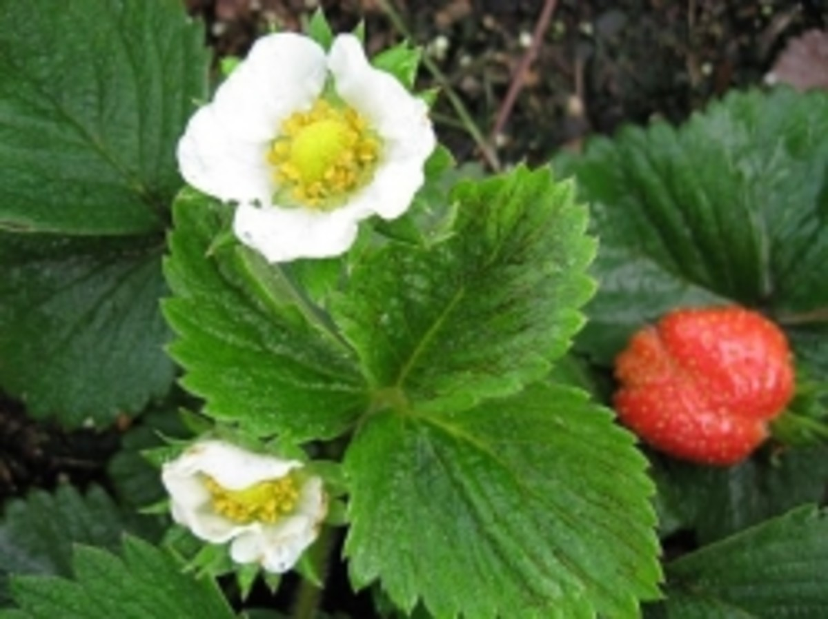 There's nothing prettier than seeing the first strawberries ready to pick in the spring.