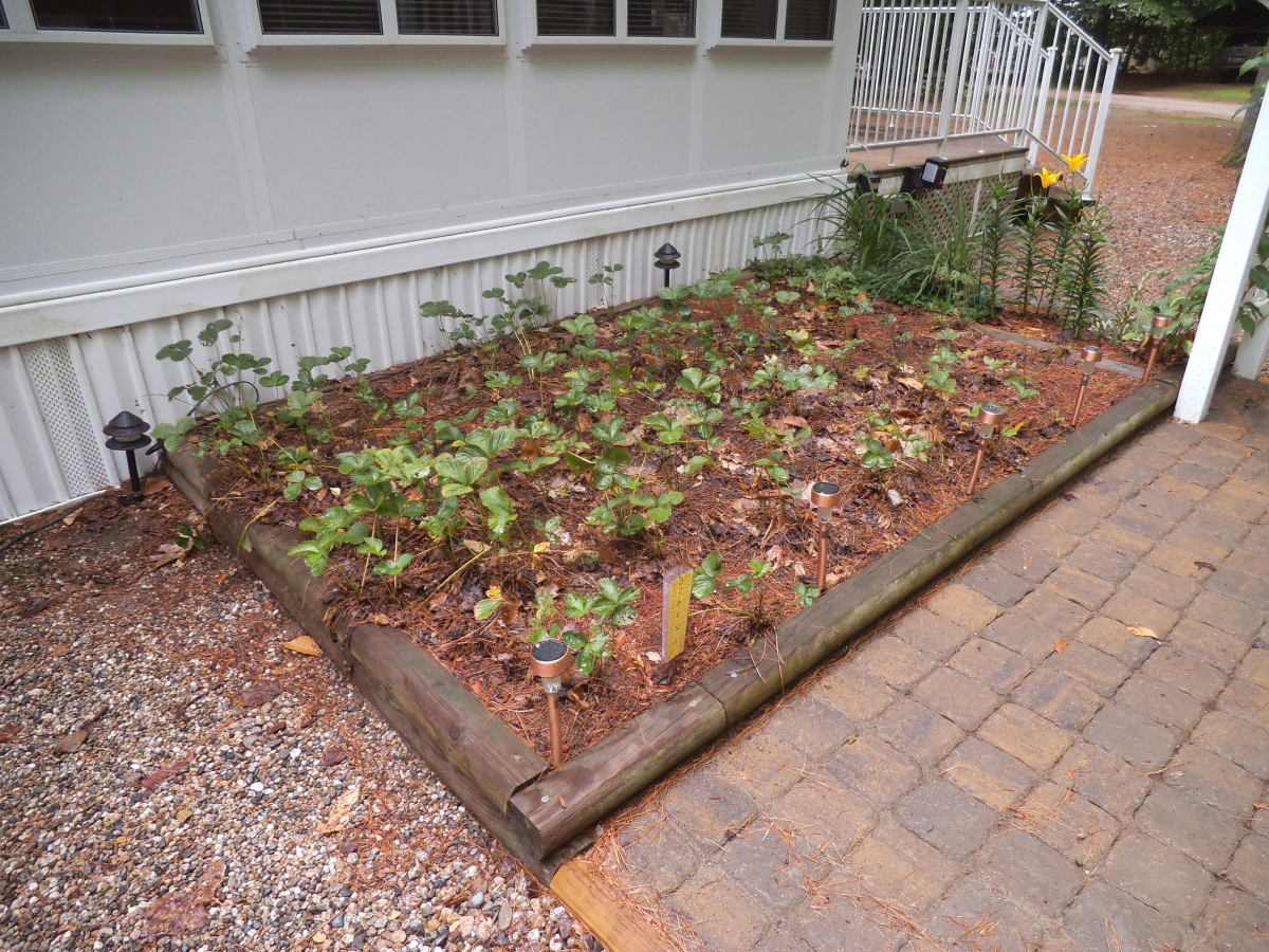 This strawberry bed is slightly raised using landscape timbers. It's in New Hampshire and is mulched with red cedar mulch.