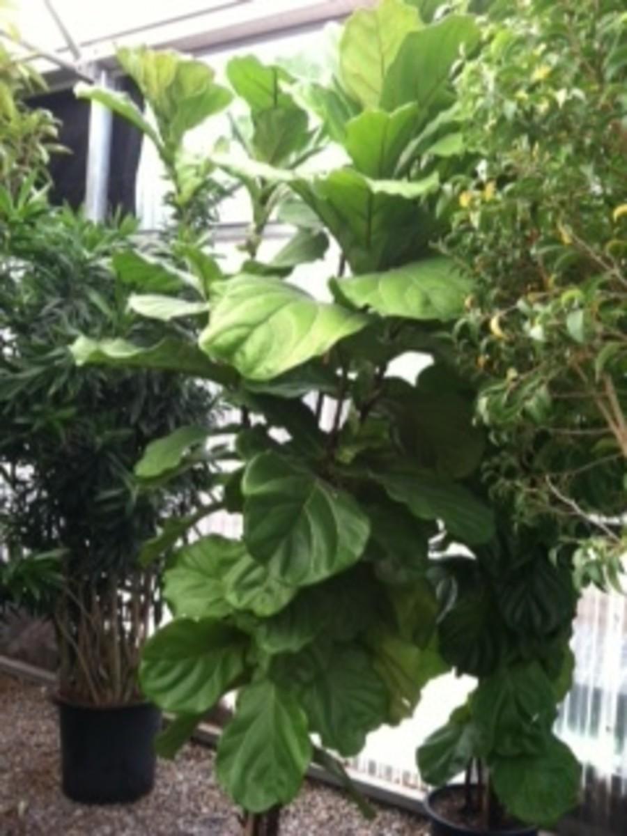 caring-for-ficus-lyrata-fiddle-leaf-fig
