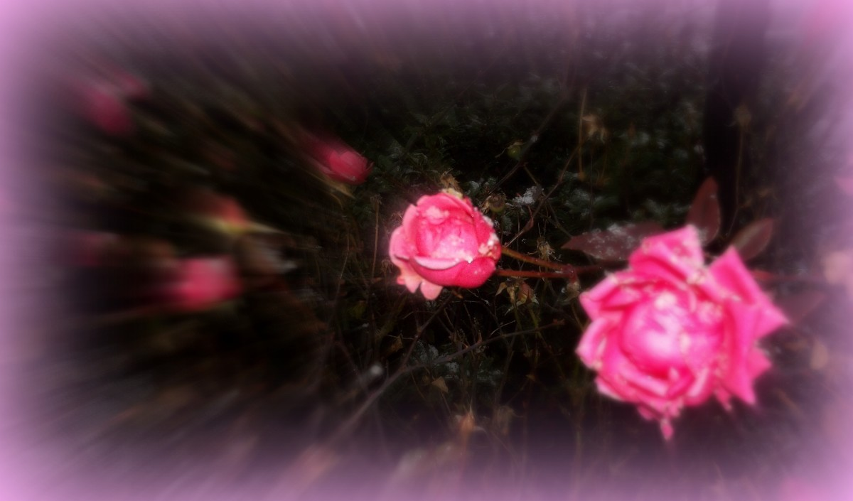 Snowy Pink Roses - snow frost effect
