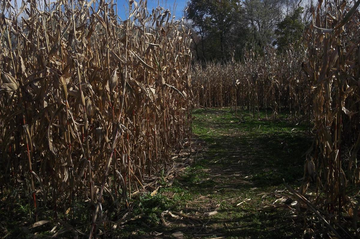 Corn maze - which way to go?
