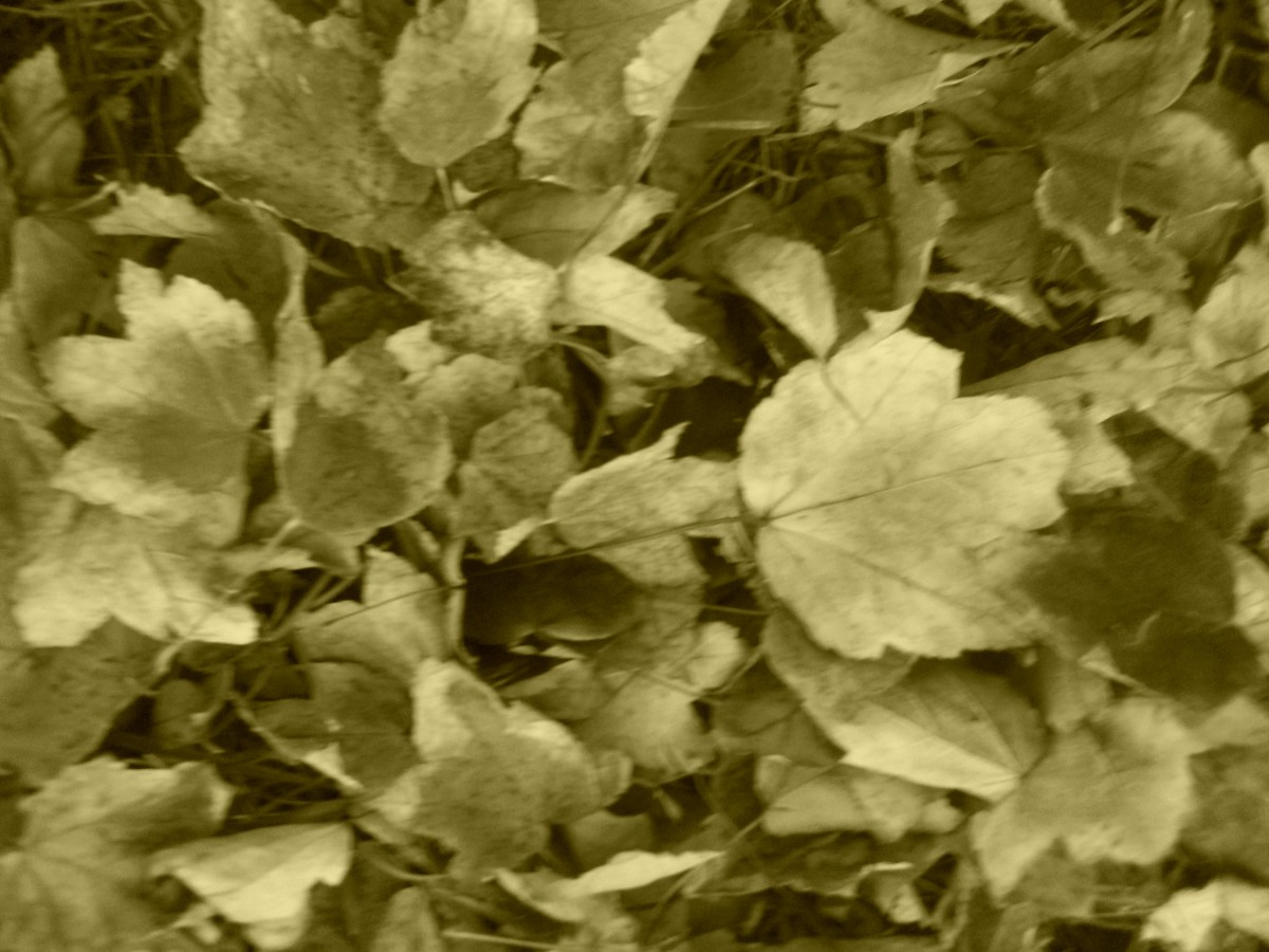 Sepia Effect - Fall Leaves