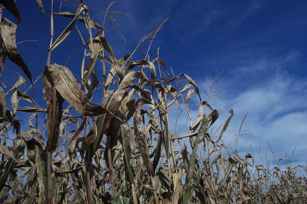 Corn maze on a sunny day.