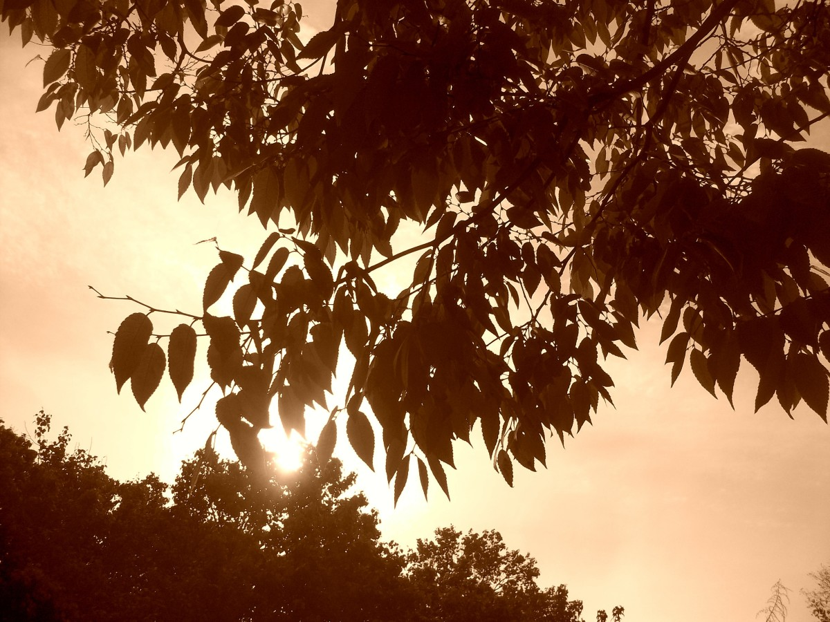 Sepia Effect - Sun Through Leaves