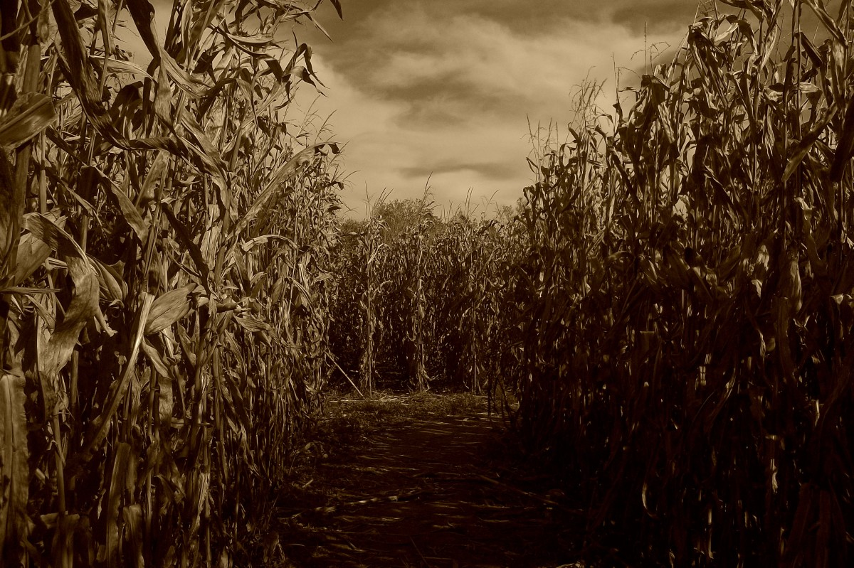 Creepy corn field.
