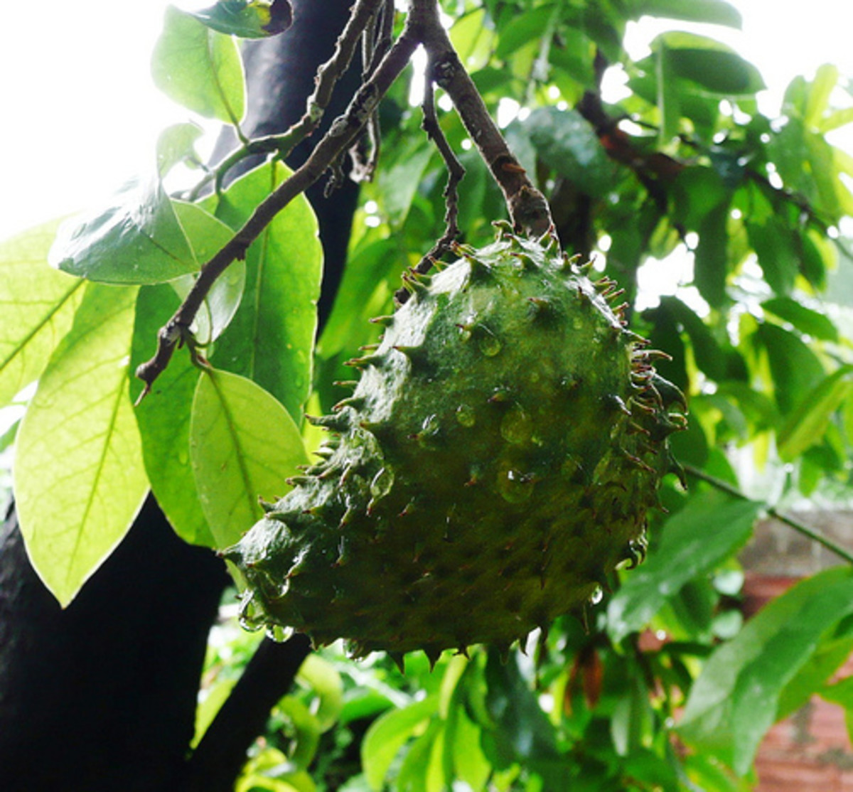 How to Treat Cancer with Soursop Tea / Graviola Tea