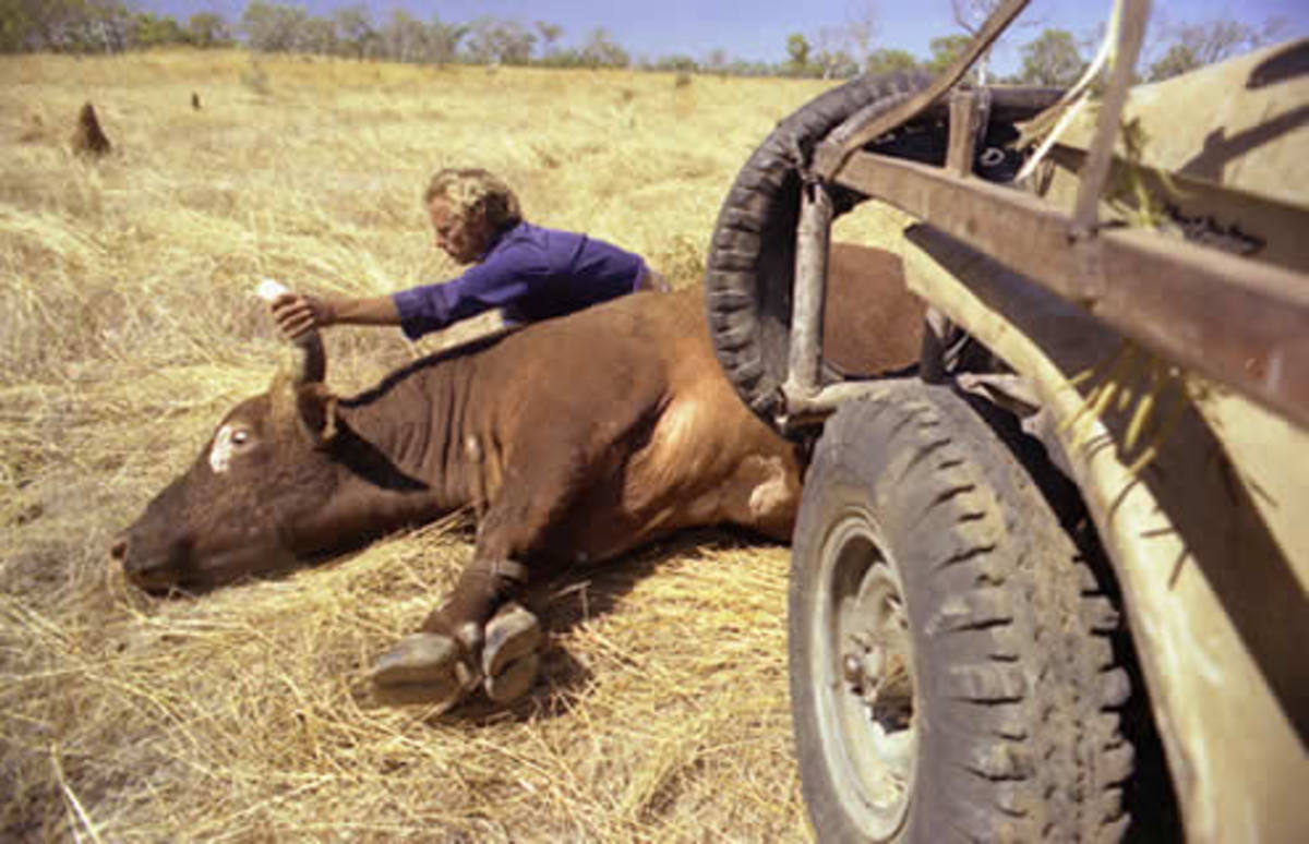 Ansell Tipping Cattle Horns - Joanne van Os