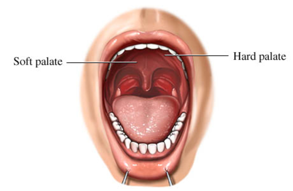 Diagram of the Human Mouth Detailing Hard and Soft Palates
