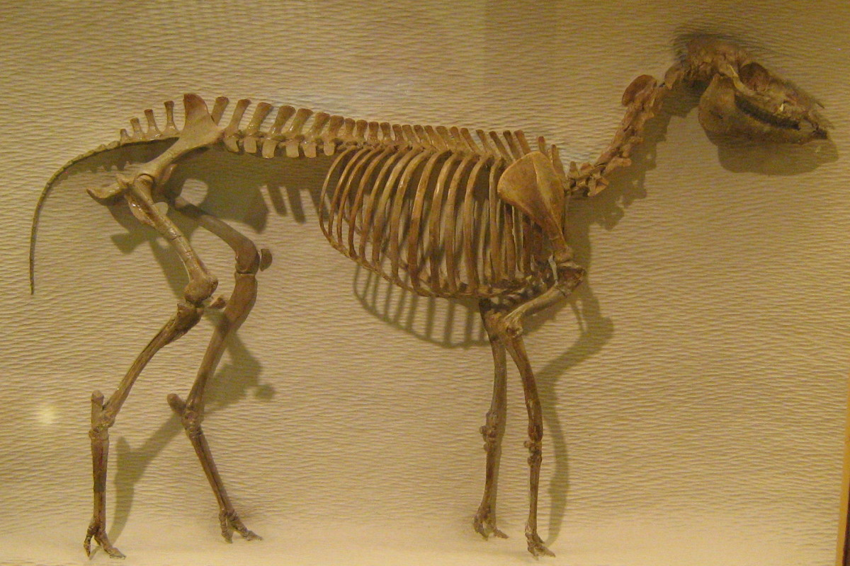 This is a complete fossil of the Mesohippus, which was believed to come right after the Miohippus, two after the eohippus.