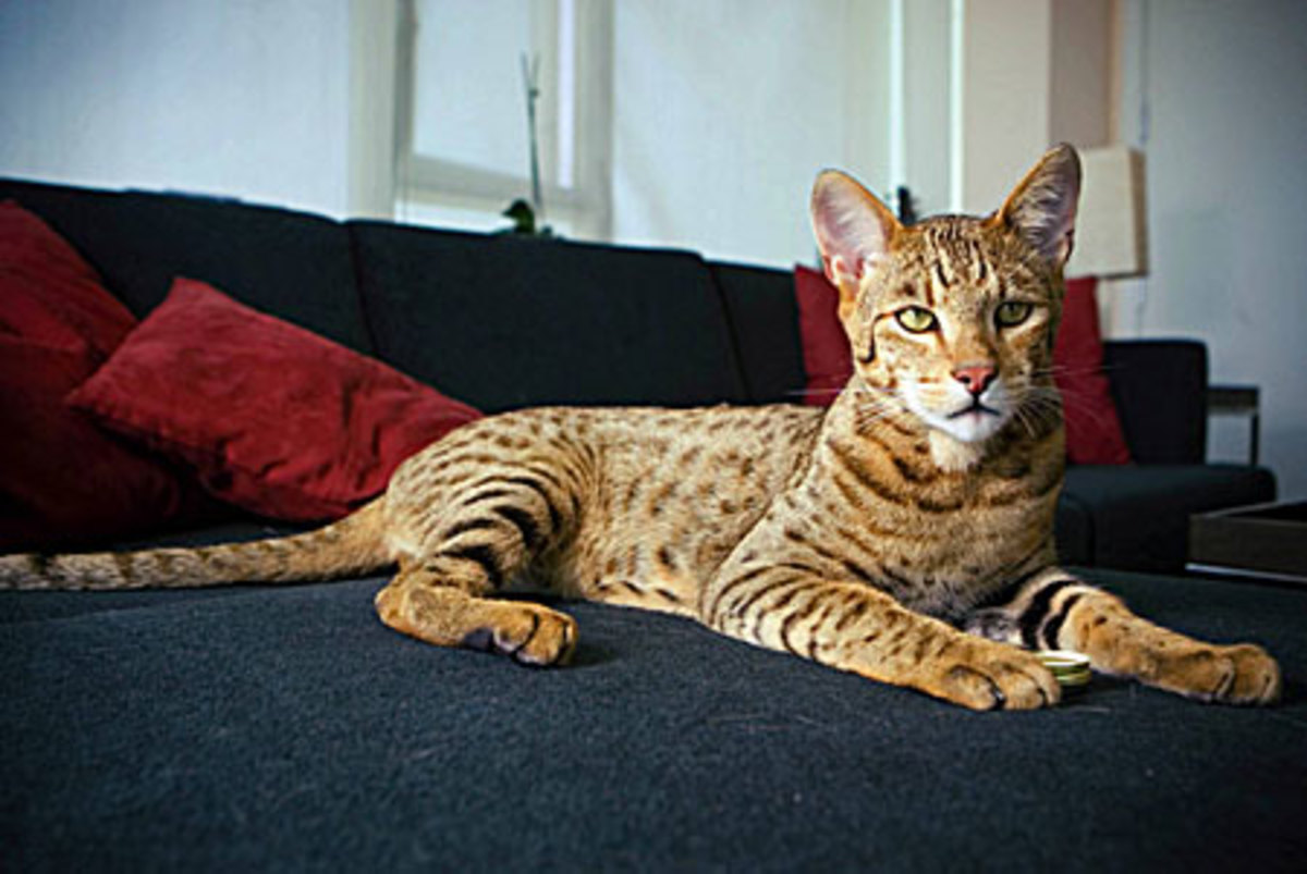 Кошка Ашера история и фотографии кошек породы Ашера