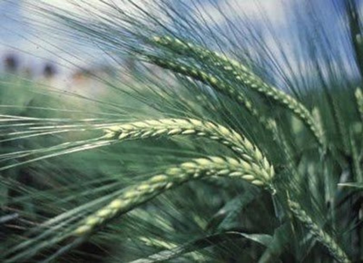 ISRAEL: SEVEN SPECIES (2) BARLEY