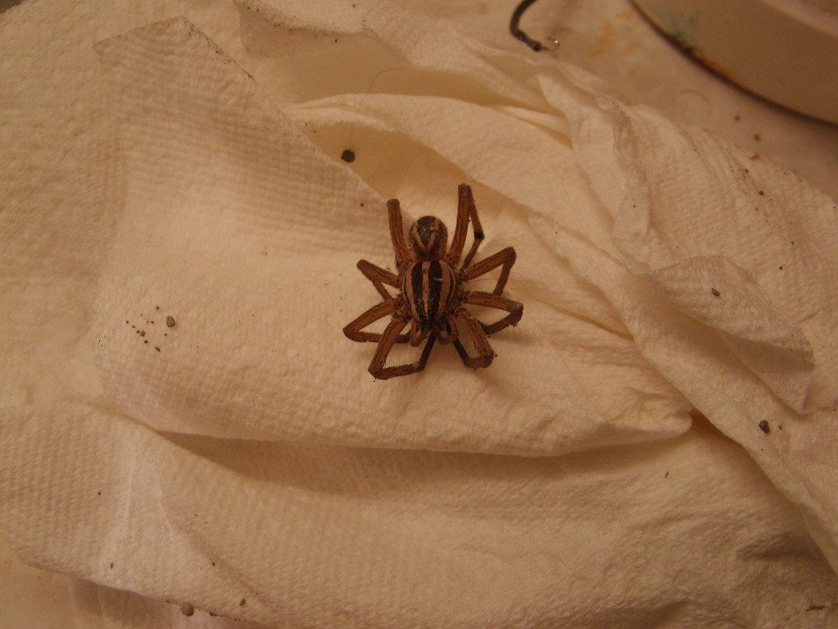 Curled up dead in front of the litter box. What kind of spider is it?