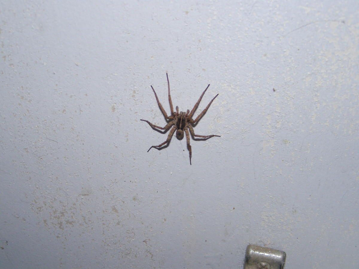 2014 -- I finally got a good photo of this crazy spider that sent me on a merry chase.