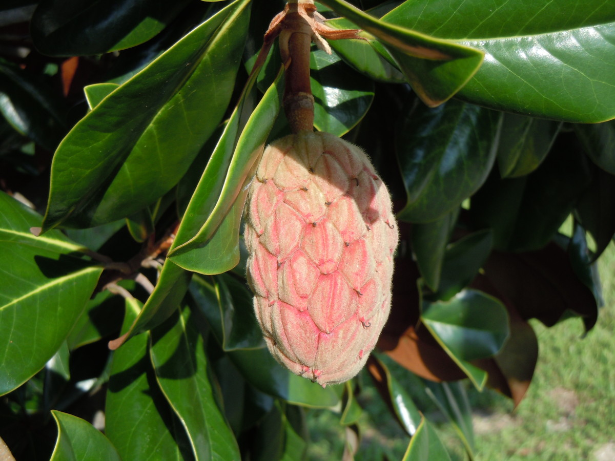 Magnolias thrive on the tropical climate of Florida and are found everywhere.