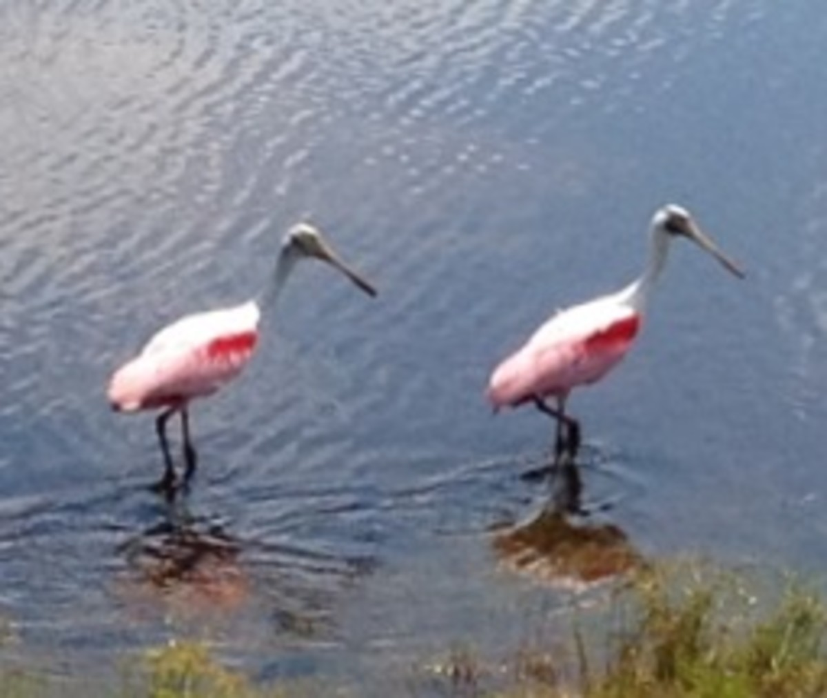 Pink Flamingos and other Birds abound everywhere in Florida.