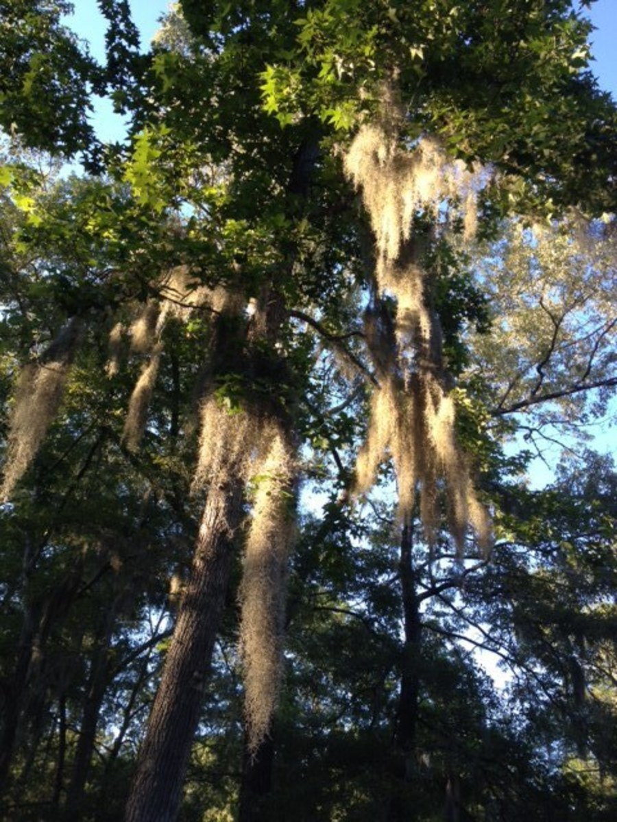 Spanish Moss is everywhere. Clinging to the limbs of trees and waving slowly in the breeze.