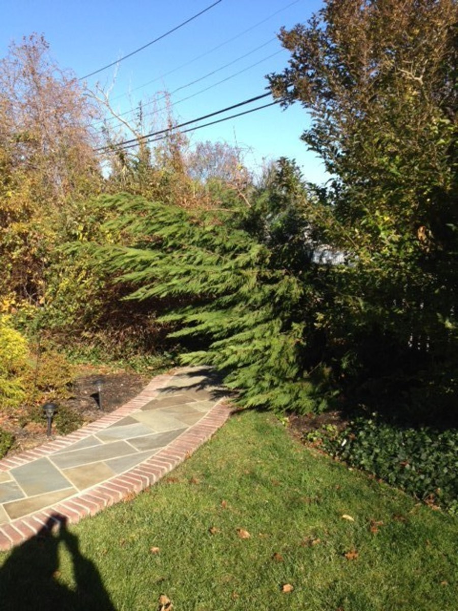 trees-for-privacy-and-beauty-the-leyland-cypress-tree