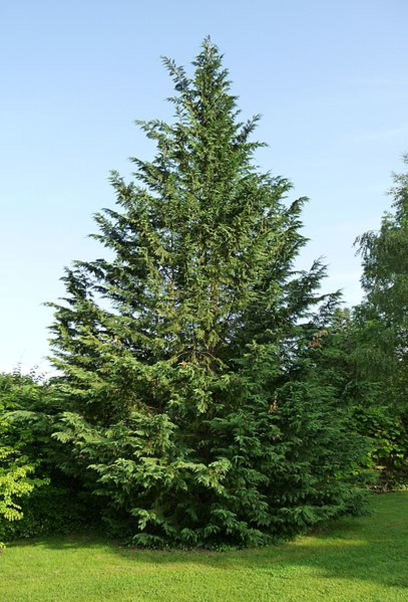 A Fast Growing Landscaping Tree: The Leyland Cypress Tree