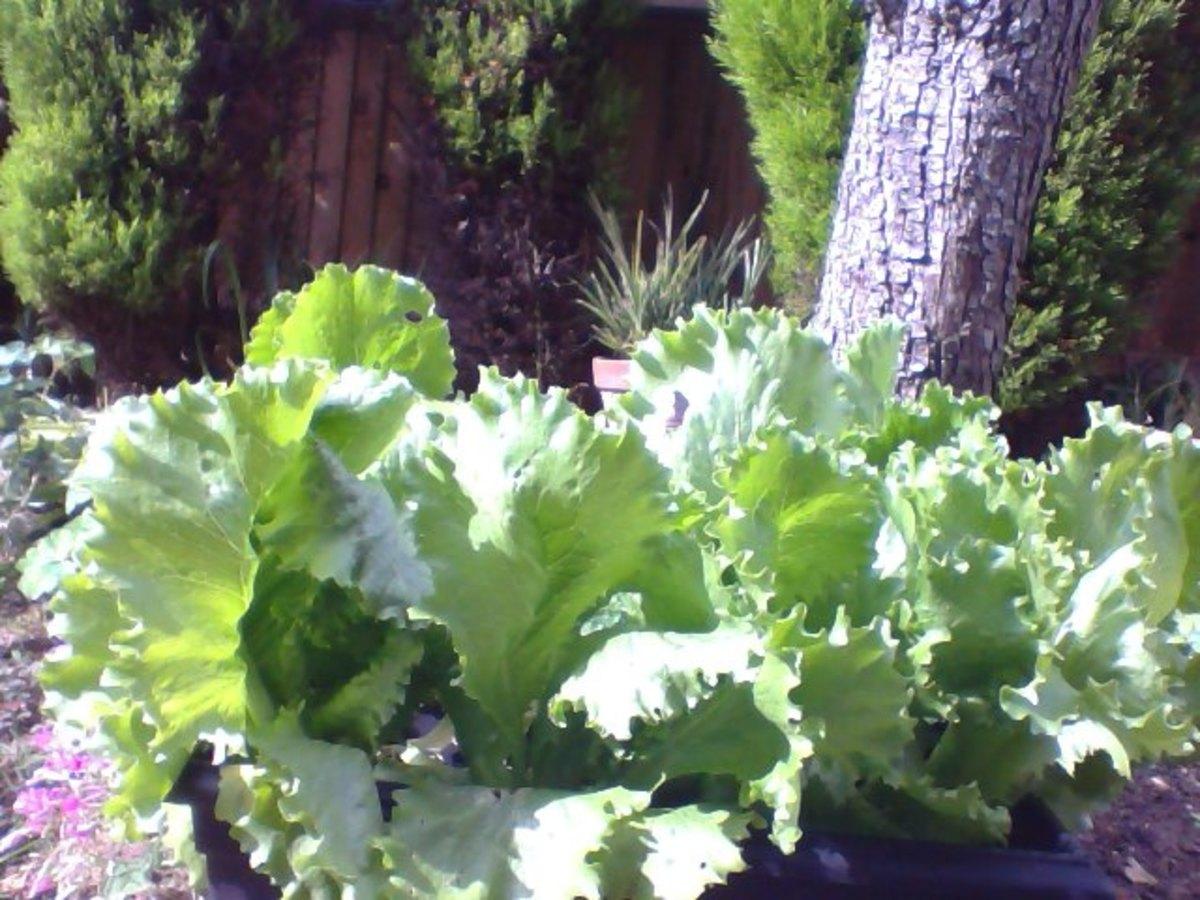 lettuces for salads