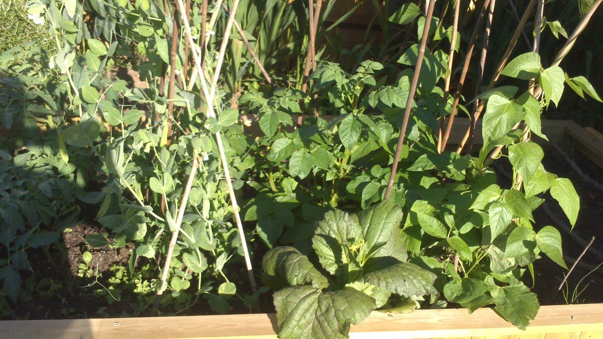 Mangetout, Purple Pechay, Potatoes, and Runner Beans on my raise-bed
