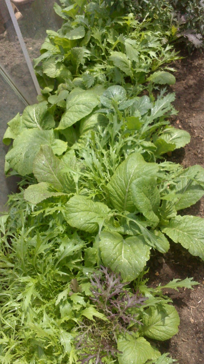 Pak Choi with mixed salad leaves