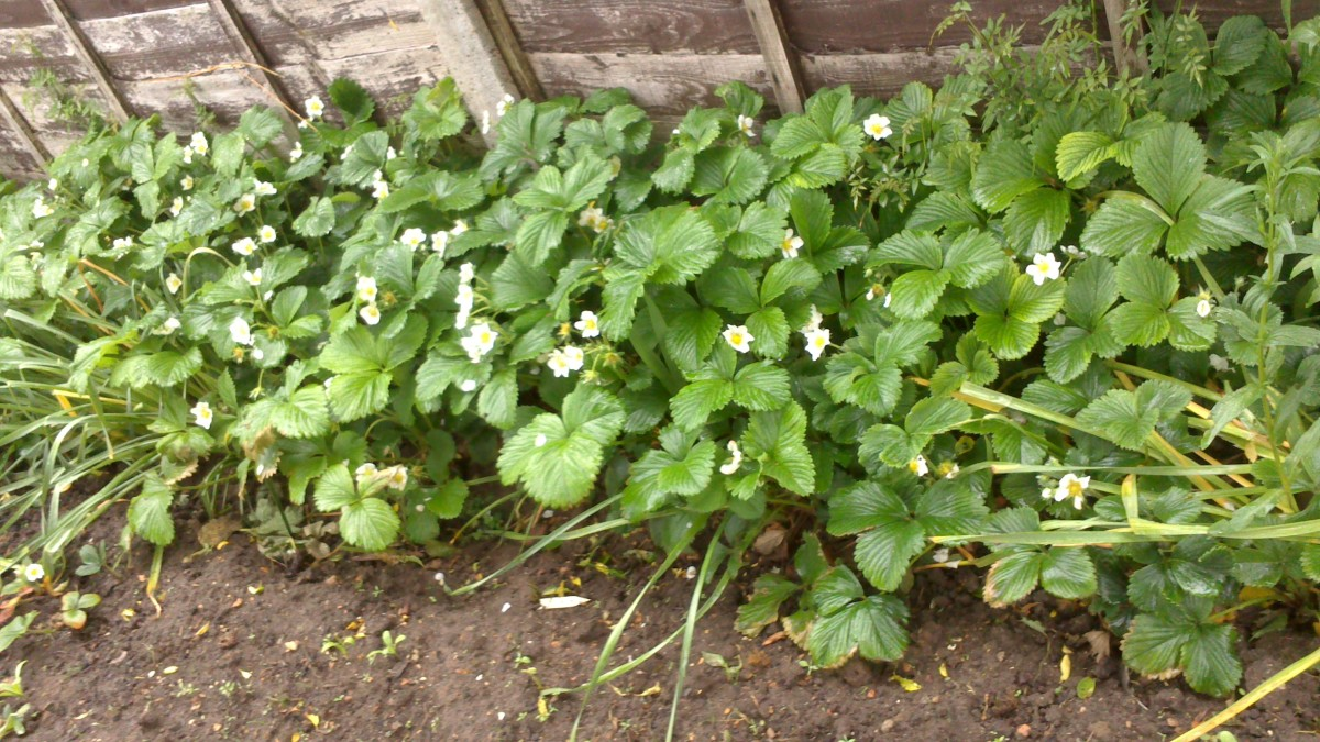 My patch of Strawberries