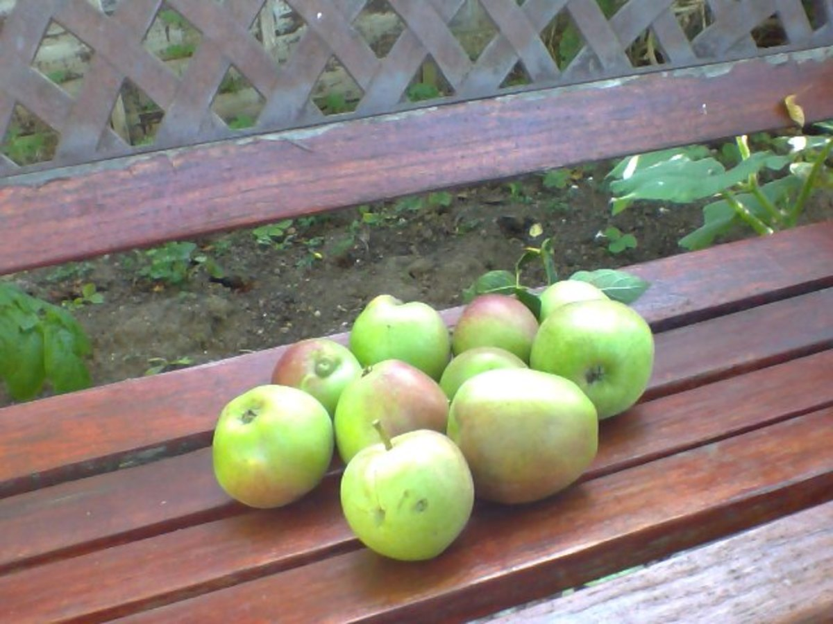 First harvest of apples