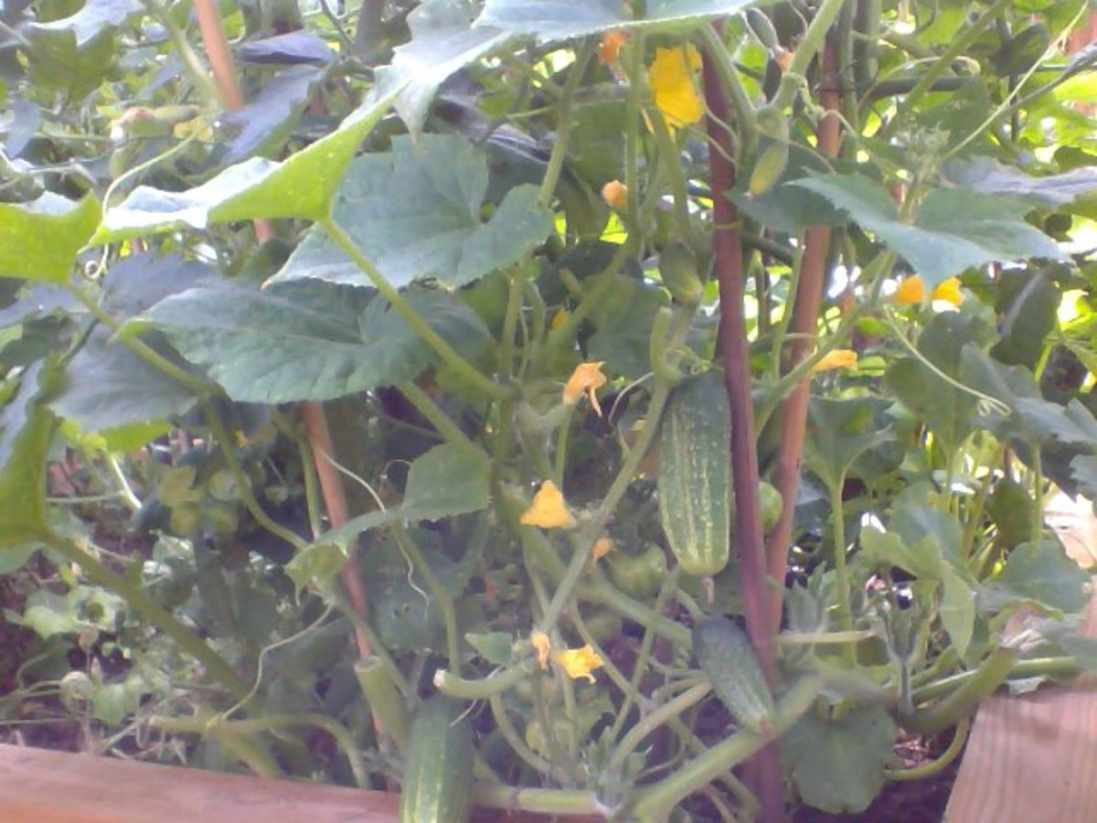 Cucumber Plant with fruits and flowers with Tomatoes and Butternut Squash on the Raised-Bed