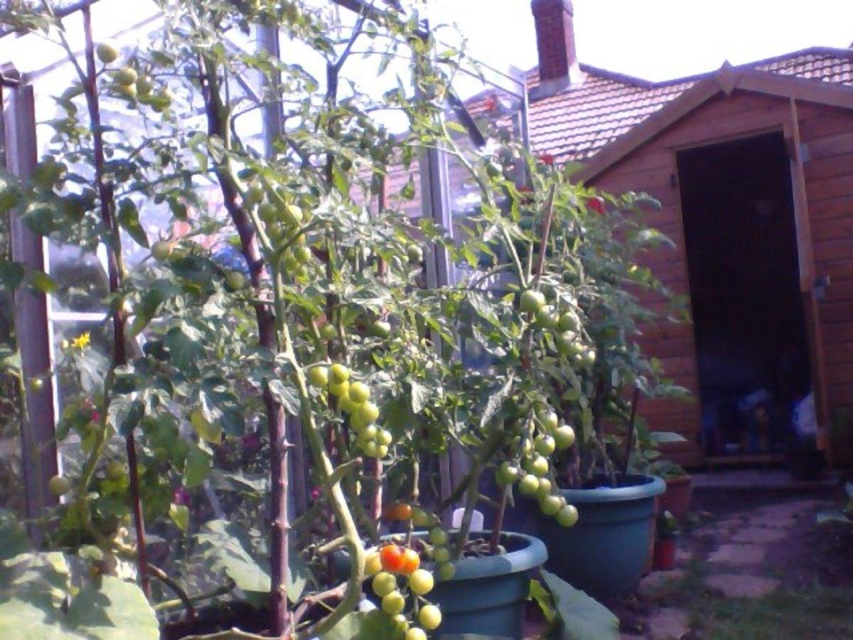 Ripening Tomato Plants