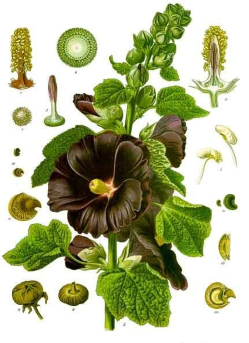 Hollyhock Plant diagram of all parts