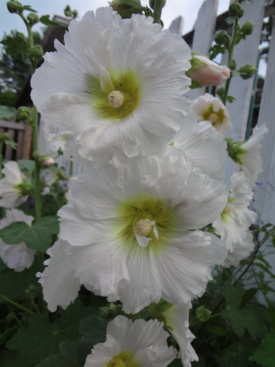 Hollyhock Indian Springs variety in White
