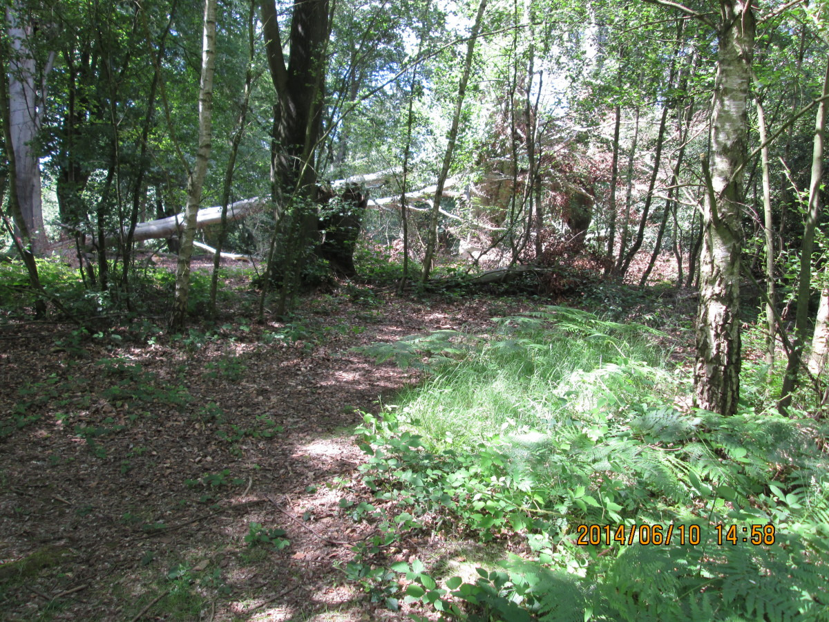 The dappled woodland floor with a fallen tree half-hidden - in places the forest floor is impenetrable, 'Hansel & Gretel' terrain, the stuff  of Grimm fairy tales