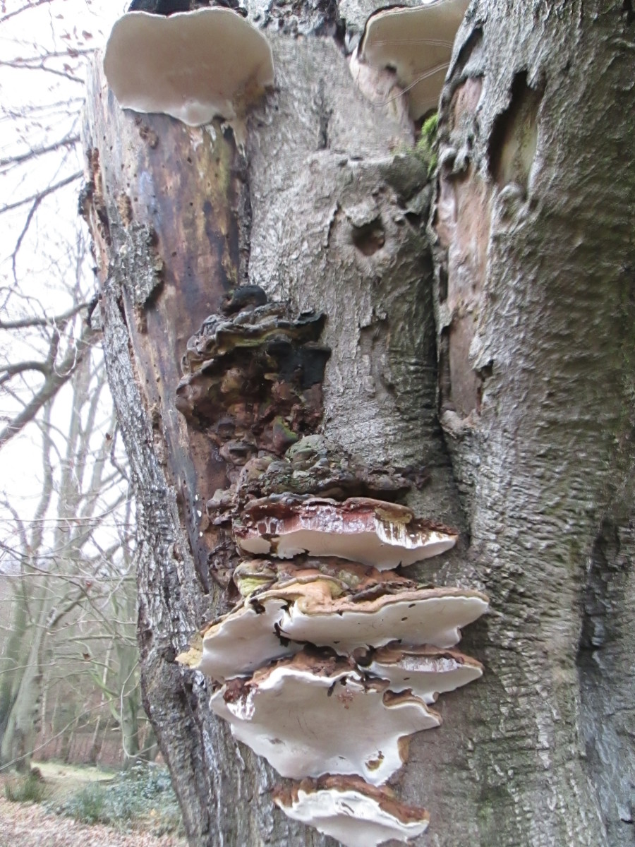 Elsewhere in the same woods, a mass of tree fungi grows in 'high-rise' fashion