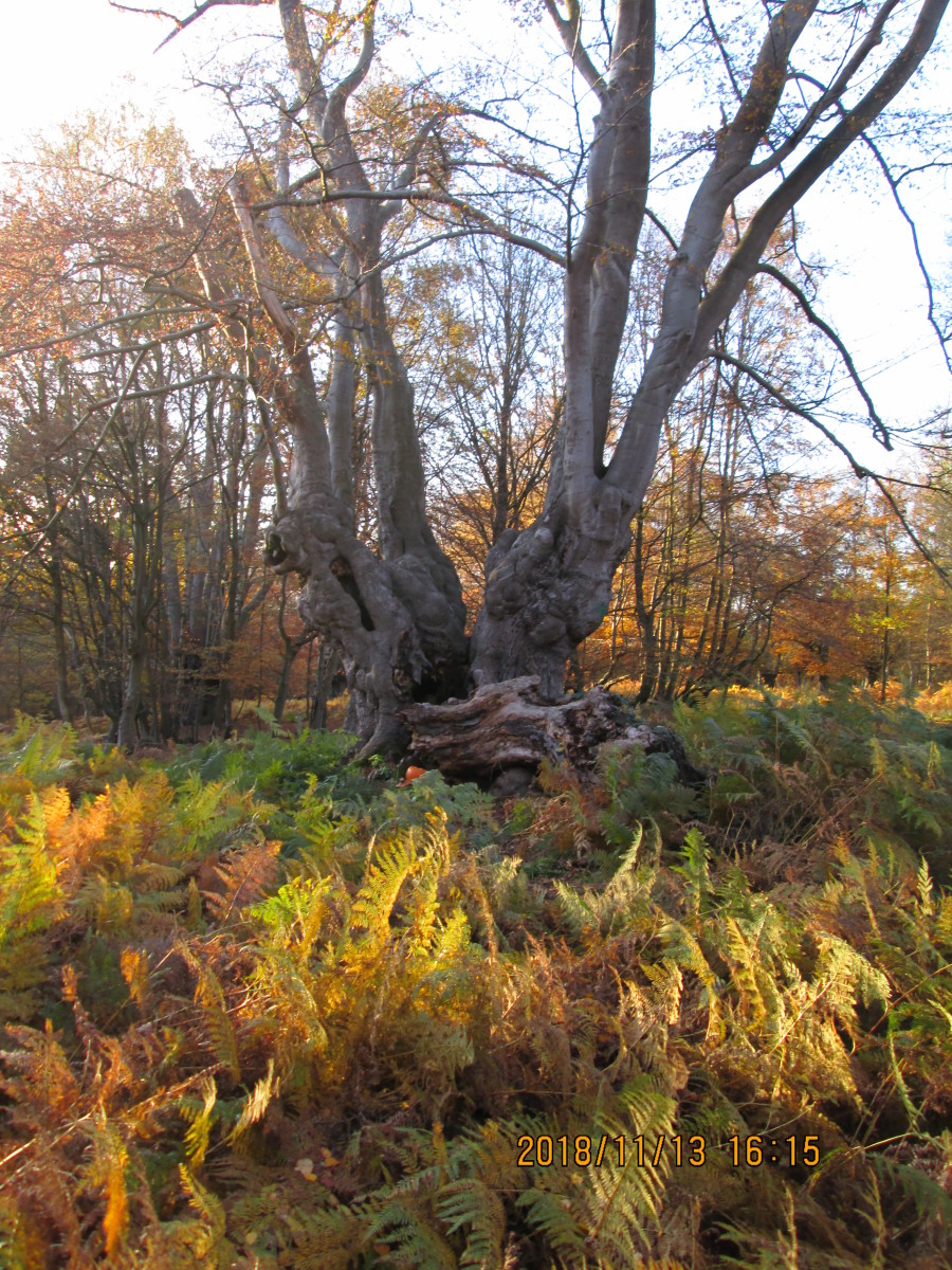 Step back and look at the tree as a whole. This is the result of charcoal burners'' coppicing - trees (beeches generally) were bound together when young and grew that way as one. In old age some are losing limbs and even whole trunks.