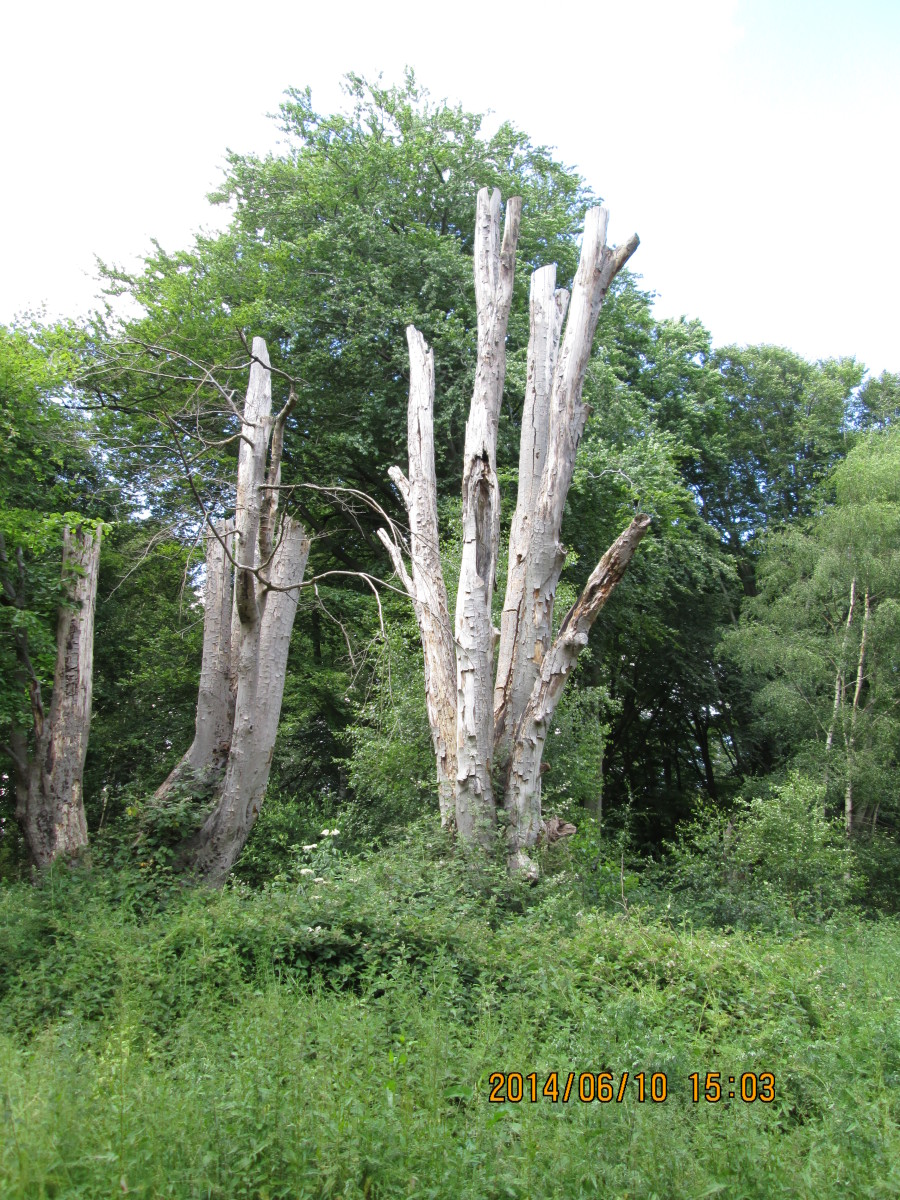 Bare trunks, dead grey wood at this second turnoff from the main track