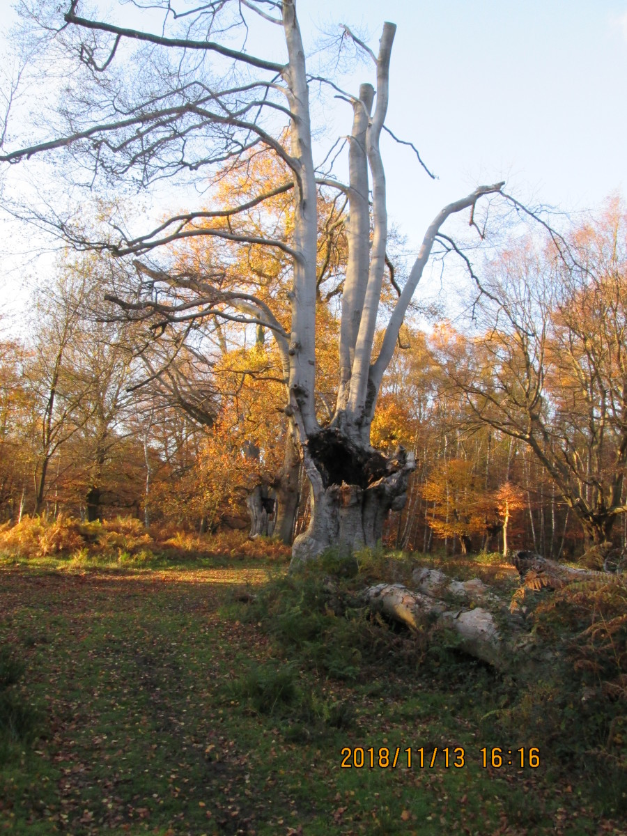 As here, for example. In this case a group of silver birches  was coppiced