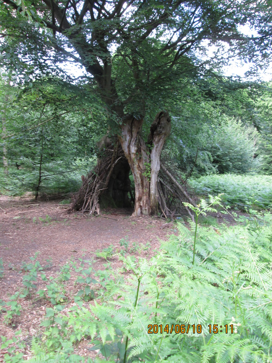 There are several of these 'bivouacs' around the forest, all the way down to Wanstead Park, built of branches recovered from the woodland floor. Not much use in rain, though!
